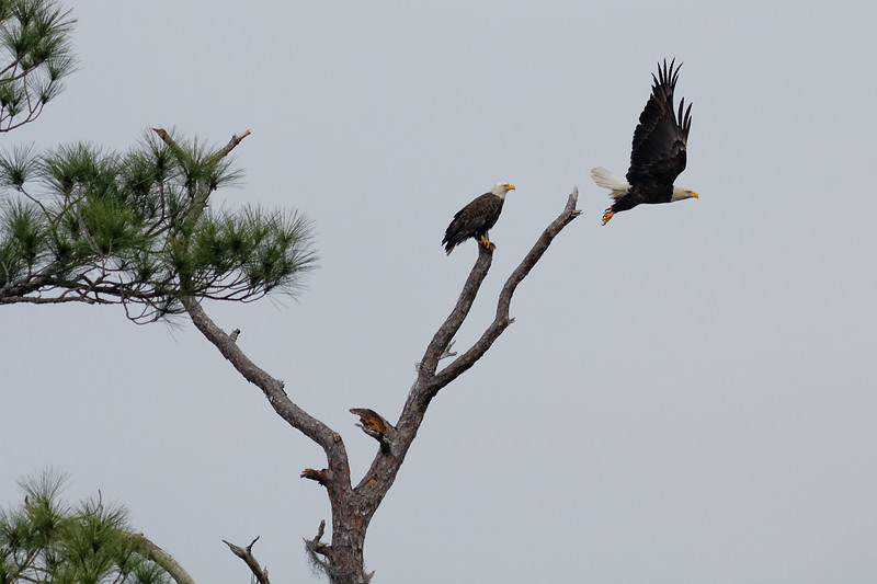 Bald Eagles - An eagle launches from a tree it had been sharing with its mate