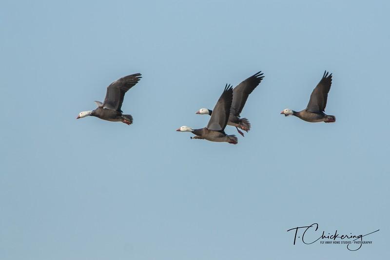 Snow Geese Dark Morph in Flight - Copy.jpg