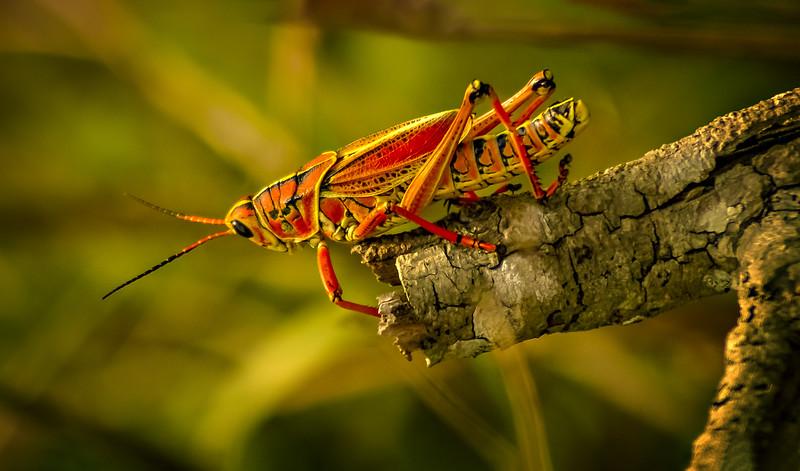 Grasshoppers 54.jpg