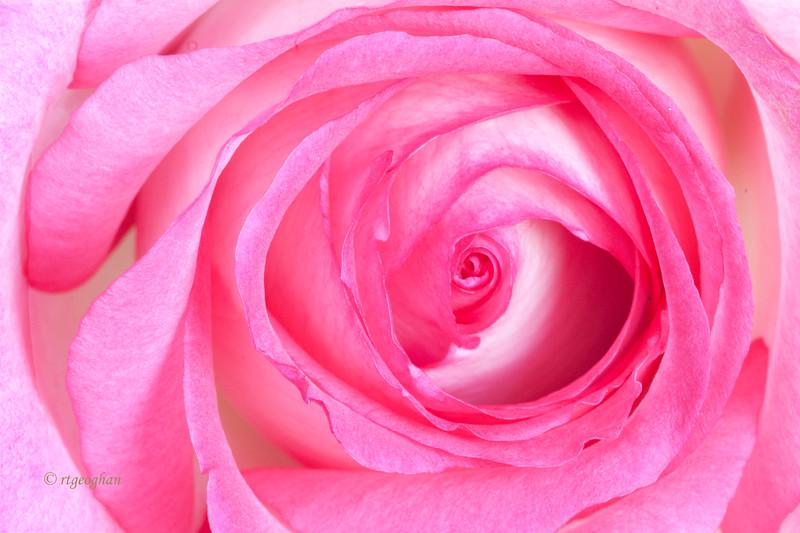 Mar 7_Pink Rose Closeup_4042.jpg
