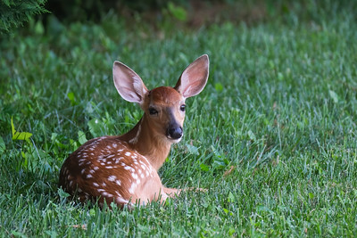 Backyard Fawns, July 2020