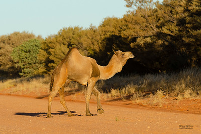 Camels (Camelidae)