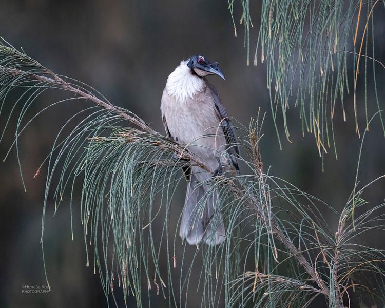 Noisy Friarbird, North Stradbroke Island, QLD, Oct 2020-1.jpg