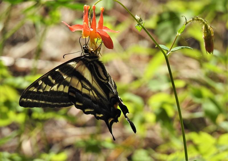 swallowtail Sagehen Creek 7-1-19.jpg