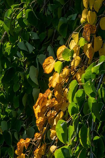 Detail of foliage, weeping katsura tree