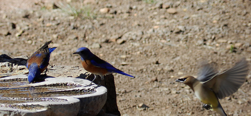 Western Bluebirds and Cedar Waxwing.jpg