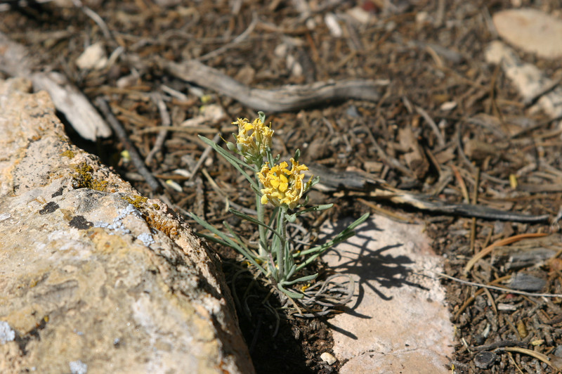 Instead of taking the shuttle along the Rim Trail, the weather turned so nice that we walked. We were lucky to have tons of wildflowers. This is, I believe, bladderpod (lesquerella intermedia).