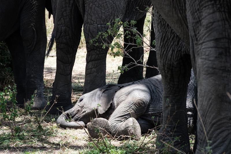 Baby Elephant sleeping.