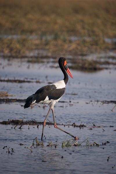 Stork, Selinda Explorer camp, Botswana