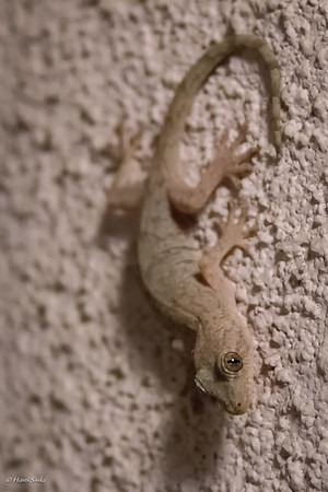 Gecko, Japanese