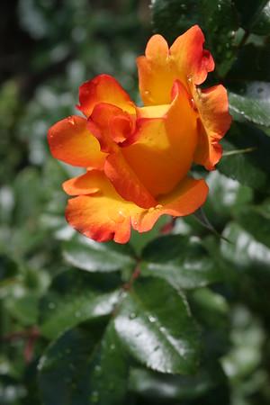 Flowers_060510_0045.JPG