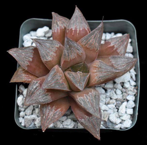 Haworthia Ginsecki hybrid