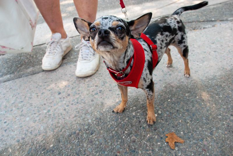Brindle Chihuahua