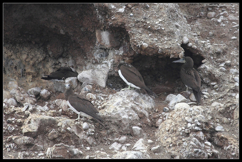 Brown Booby Colony, Pelagic Trip Pacific Ocean, Islas Coronados, Mexico, March 2010