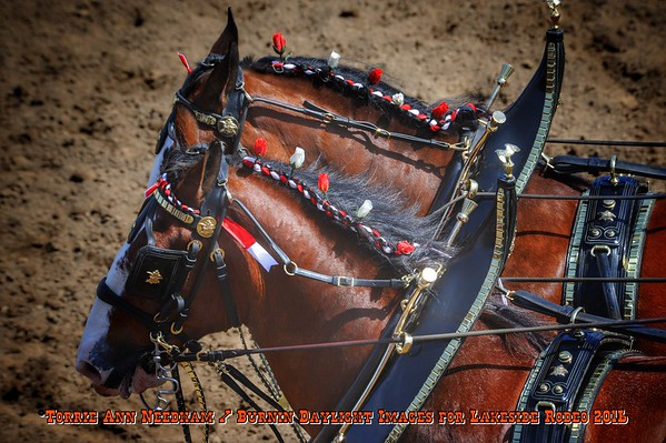 Budweiser Clydesdales/Lakeside Rodeo 2016