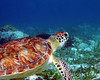 Belize Turtle 3
