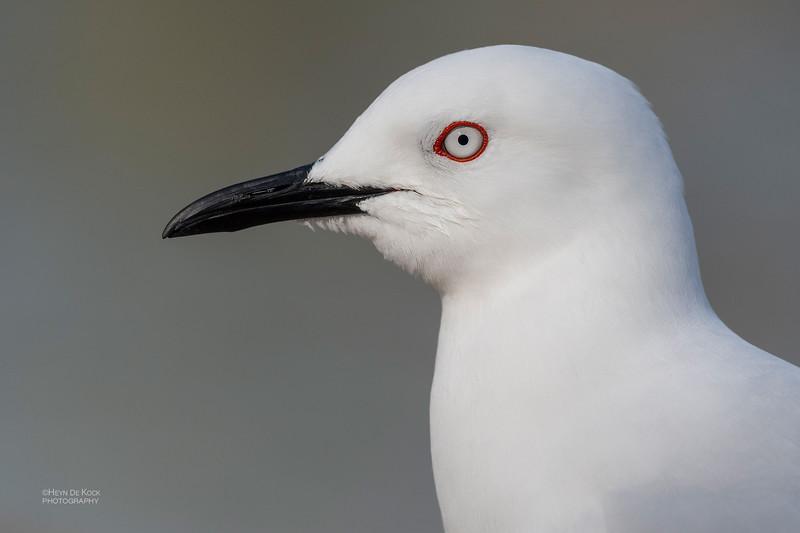 Black-billed Gull, Queenstown, SI, NZ, Aug 2018-8.jpg