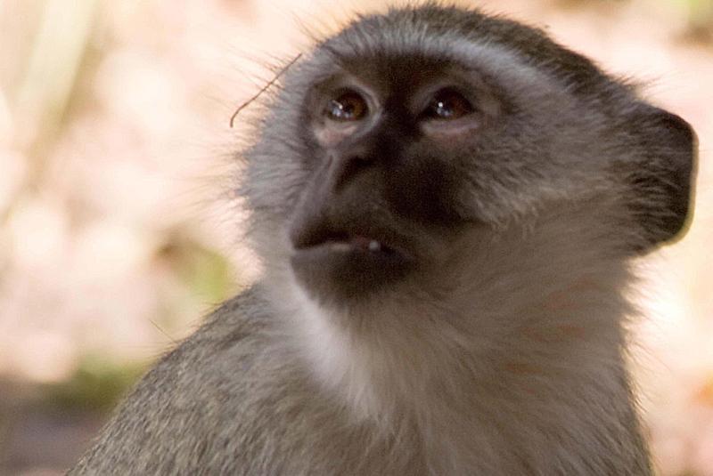 Vervet Monkey3.jpg