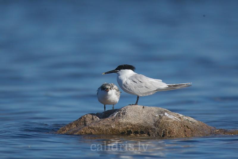 Sandwitch Terns (juvenile and adult) rest on a rock / Cekulzīriņi (jaunais un pieaugušais putni)  atpūšas uz akmens