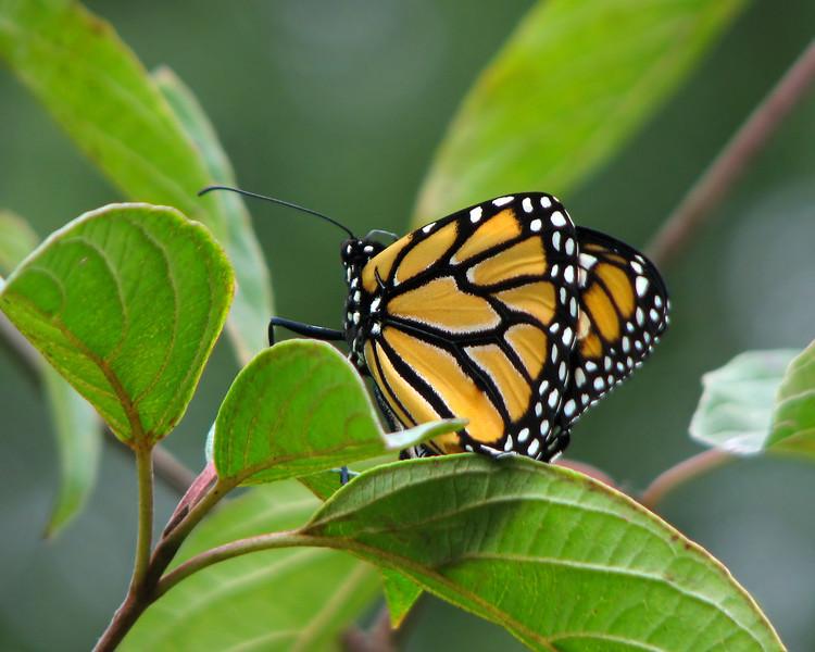 monarch_butterfly_1720.jpg