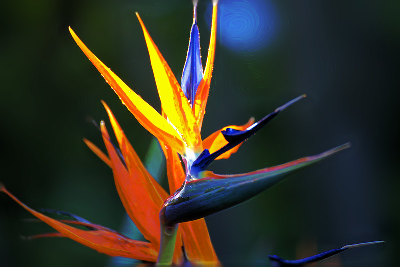 Bird of Paradise 11-Topaz Subtle Squiggly.jpg