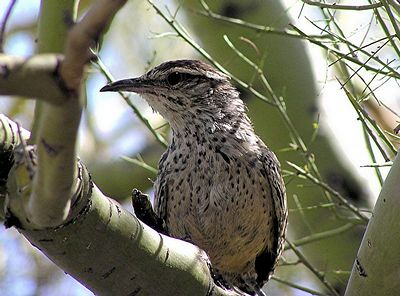 SE Arizona Birding Trip
