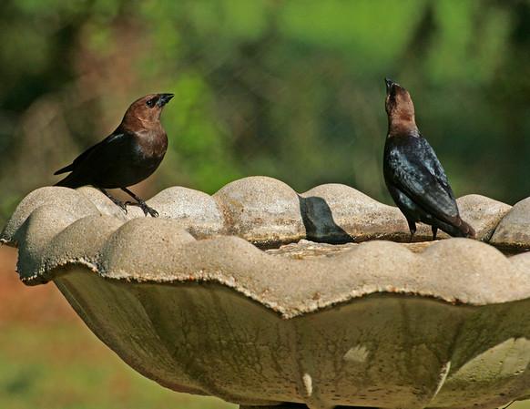 Orioles, Blackbirds, Cowbirds, Grackles, & Starlings