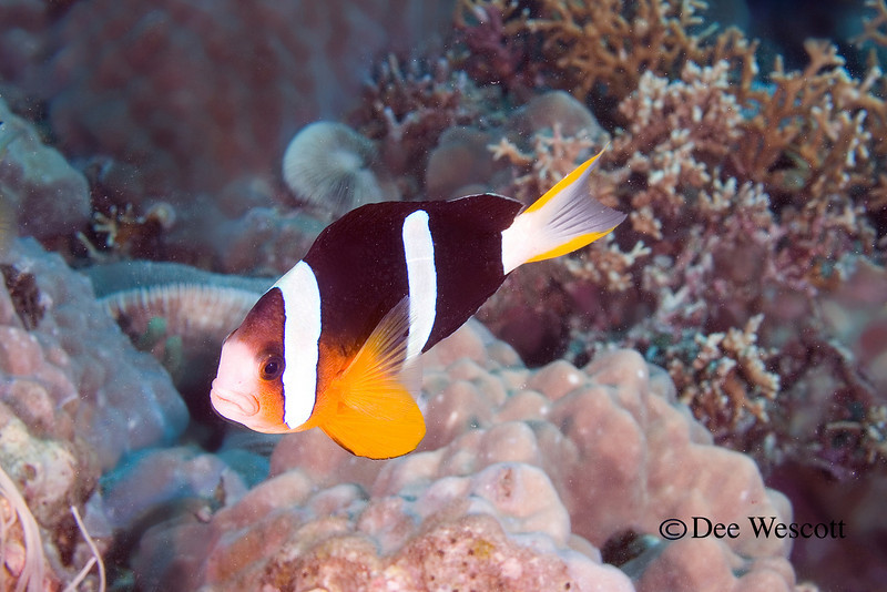 Clark's Anenome Fish 2.jpg