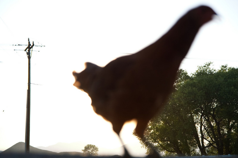Sometimes the rooster crows at sunset.
