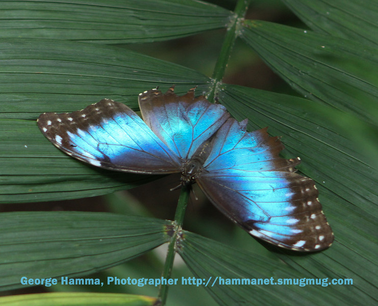 There are many beautiful butterflies nearby for the visitors to view, in this case a blue morpho.