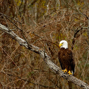 Bald Eagle in Brazos Bend State Park
