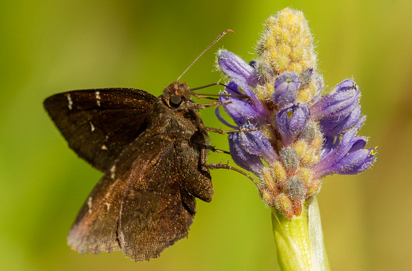 Northern Cloudywing Skipper
