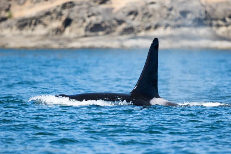 Orcas -  073115-126.jpg