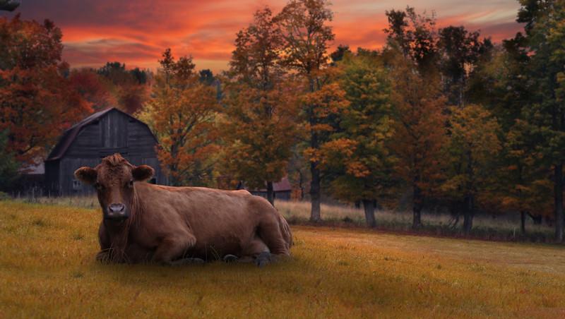 fall-cow.jpg