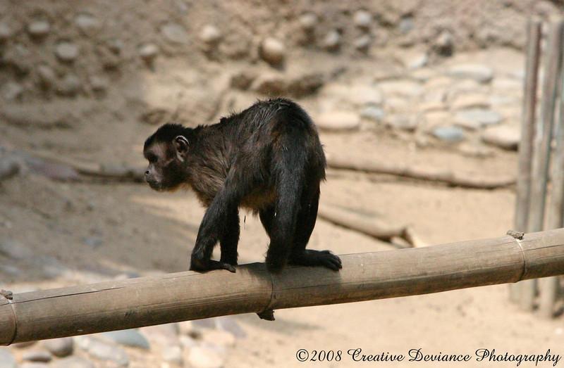 Brown Capuchin9.jpg