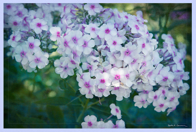 Phlox, Bridge of Flowers, Shelburne Falls, Massachusetts