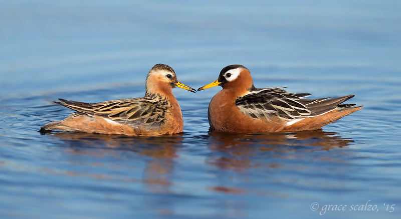 Red Phalarope Pair