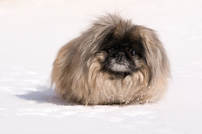 One of my dogs in the snow. It's a Pekingese.