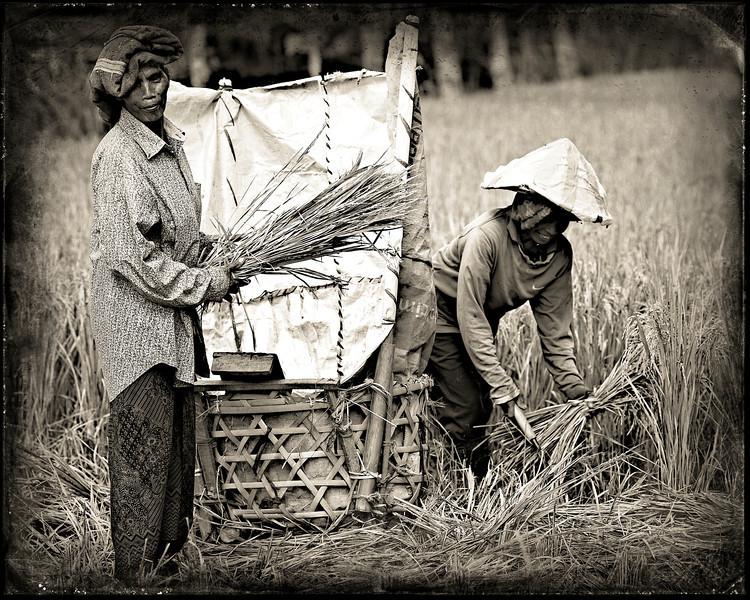 rice pickers 3.jpg