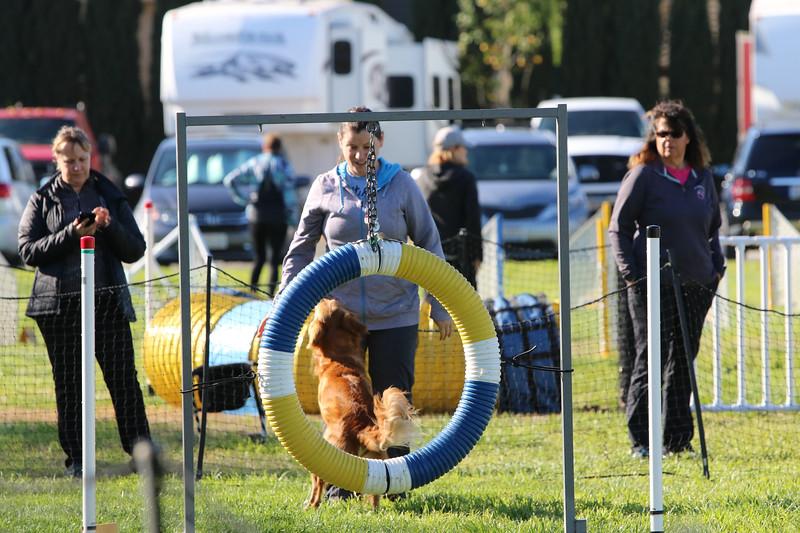 3-31-2018 Shetlant Sheepdog-2361.jpg