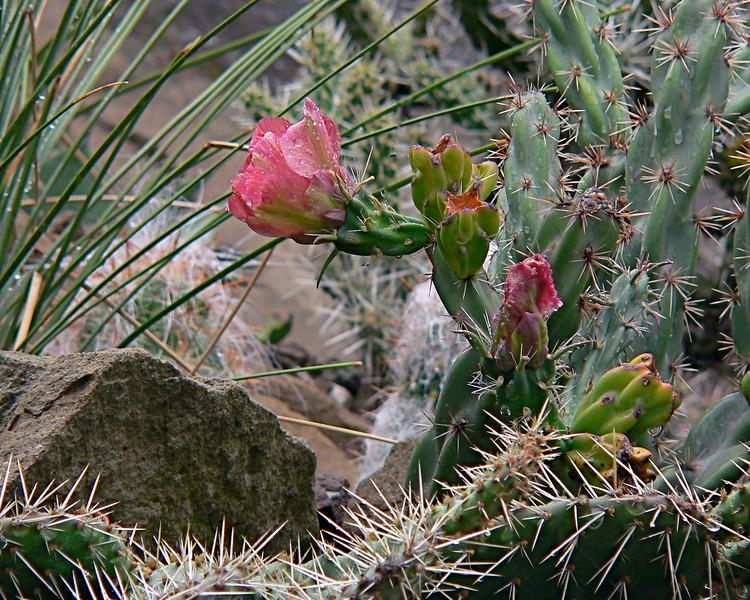 Opuntia imbricata(Cholla).jpg