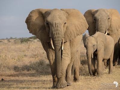 Herd Elephant 4