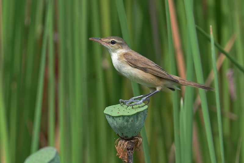 Oriental Reed Warblers