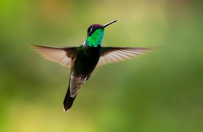 Rivoli's Hummingbird (Magnificent Hummingbird)