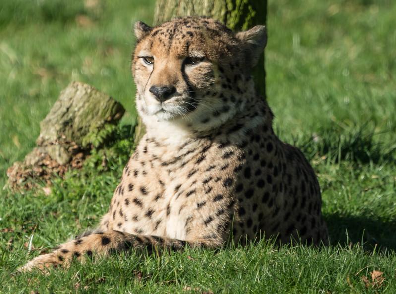 Animals, Big Cat, Cheetah, Marwell Zoo @ Marwell Zoo, City of Winchester,England - 04/02/2018