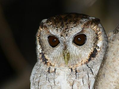Balsas Screech-Owl (Megascops seductus)