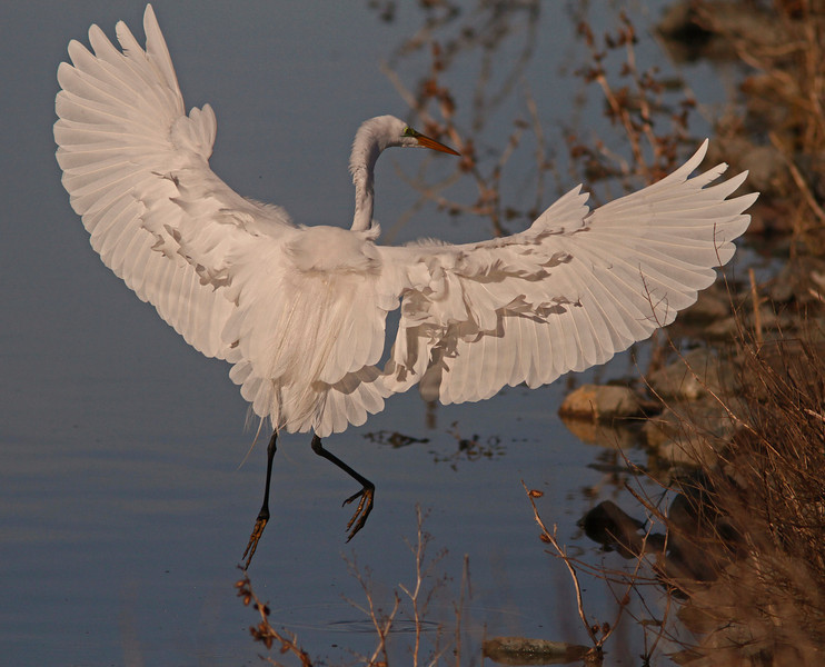 Great Egret landing, Las Gallinas