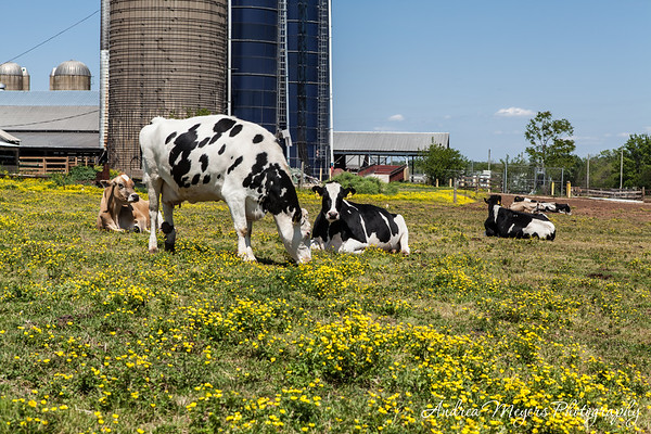 Al-Mara Farm: Spring on a Dairy Farm