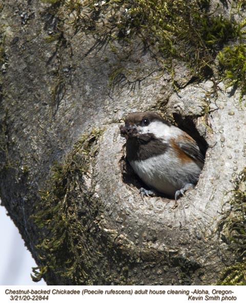 Chestnut-backed Chickadee A22844.jpg