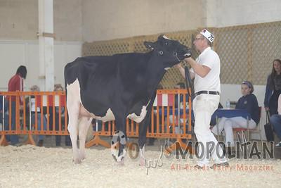 Atlantic Fall Holstein Cows 15